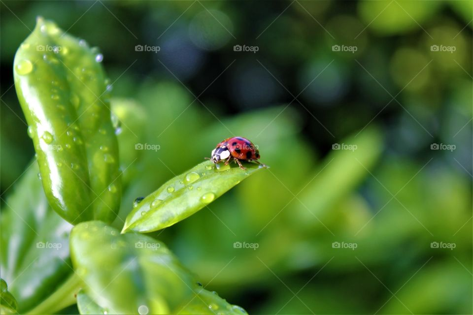 Ladybirds on leaf with dew