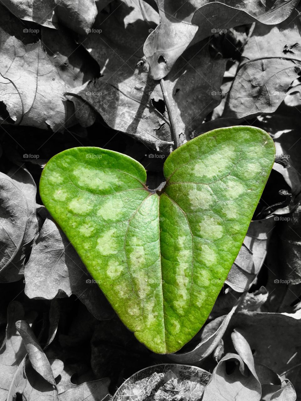 For the love of nature. A color pop edit of a green leaf among the grayscale of the foliage of the forest floor