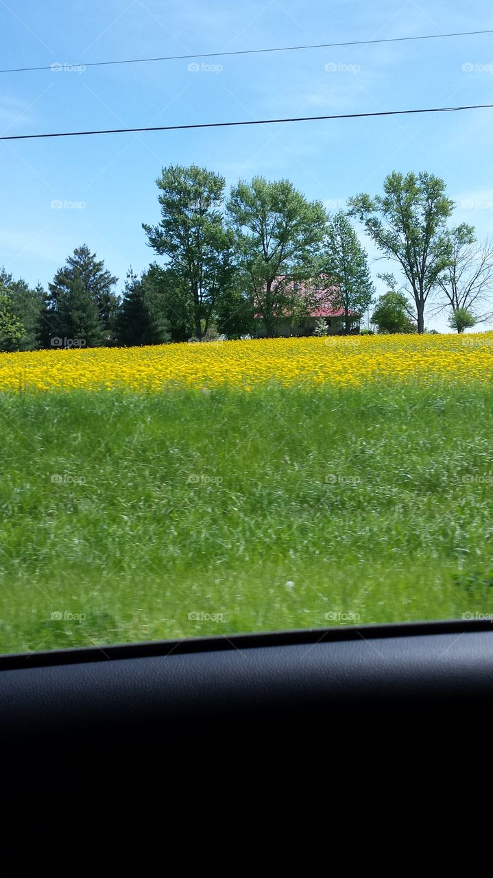 field of yellow flowers. farm land before they till