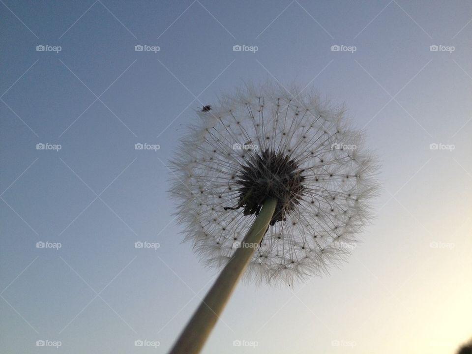 dandelion and bug