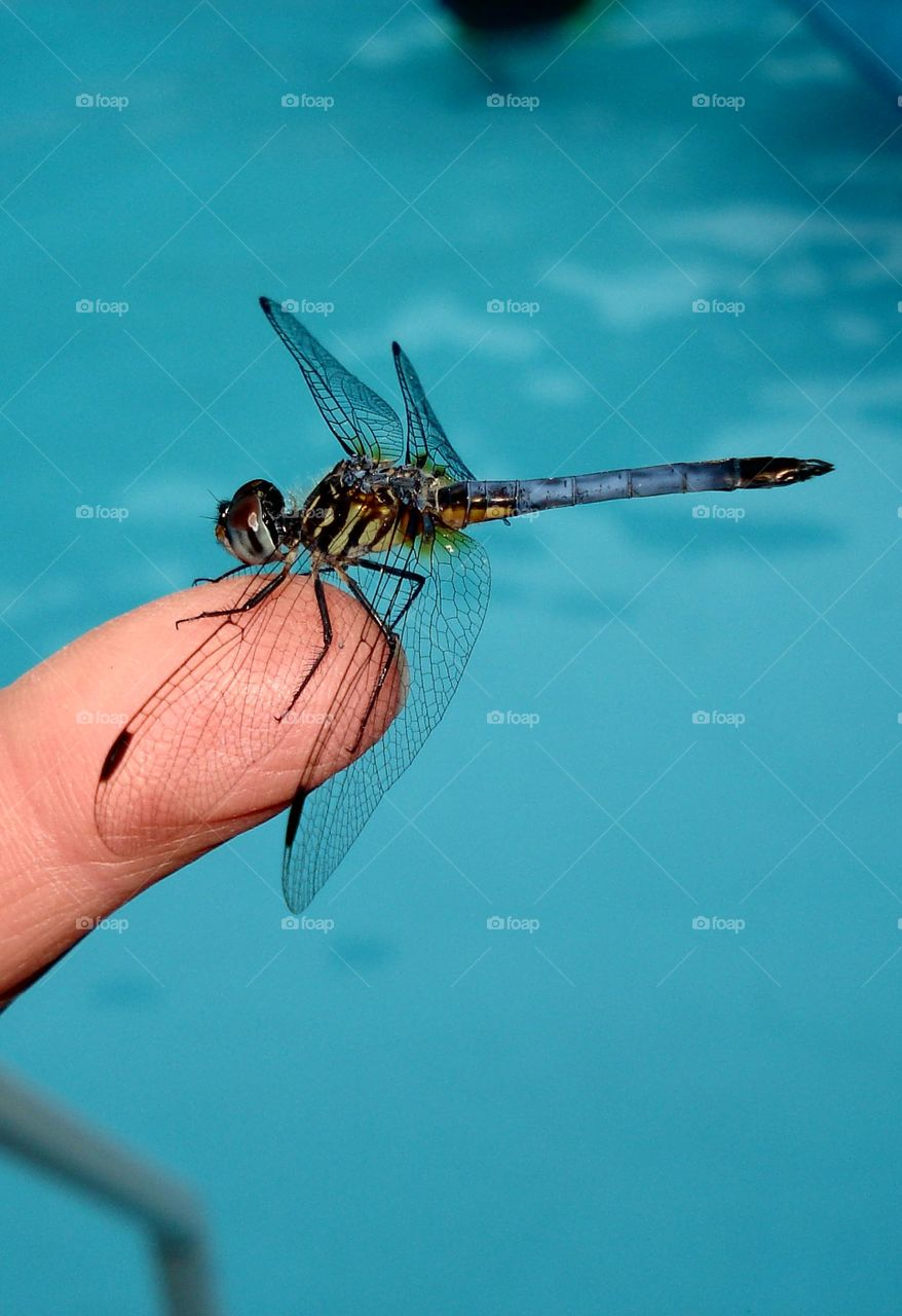 Dragonfly holding index finger over pool water.