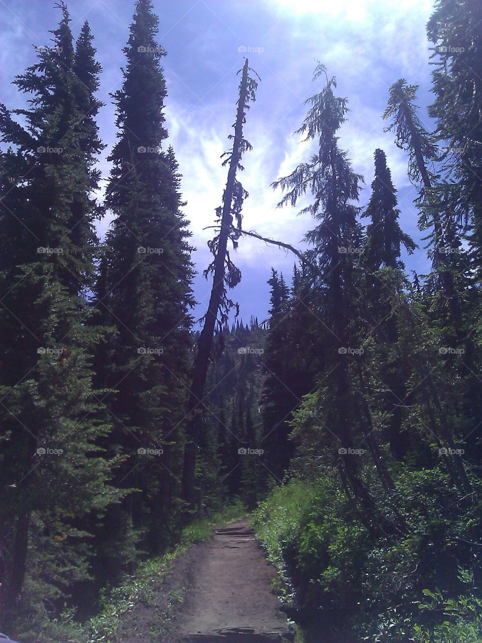 Trees Overlooking A Path. Hiking in the Mt. Rainier National Forest I came across several trees overlooking the trail I was on.