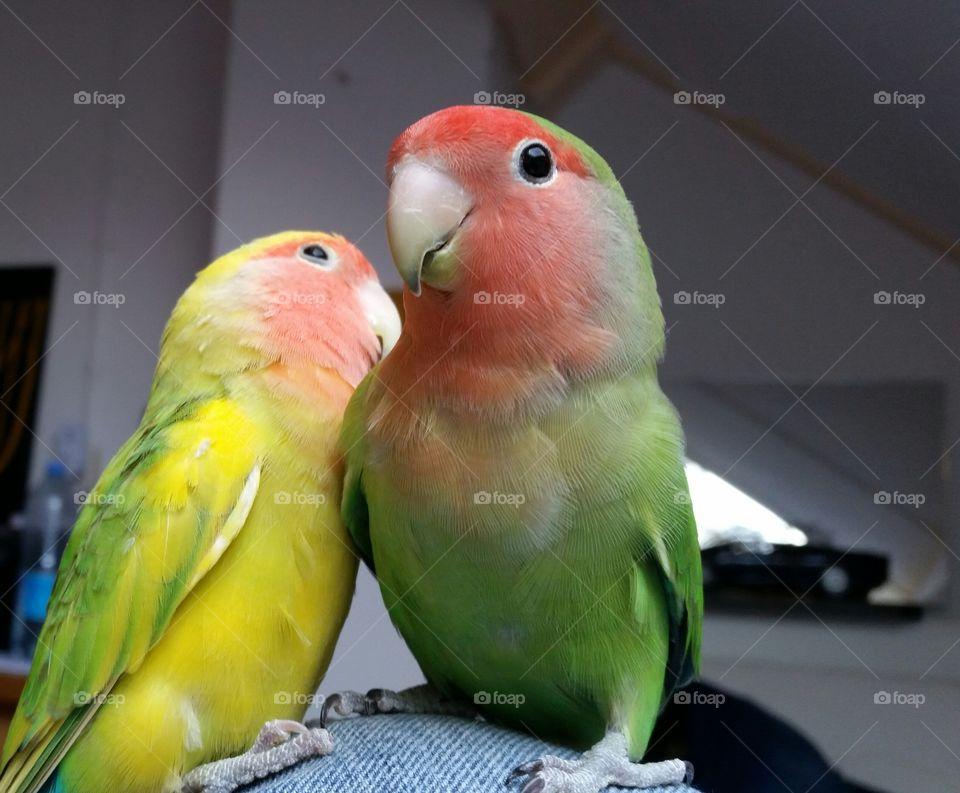Love Birds Couple
