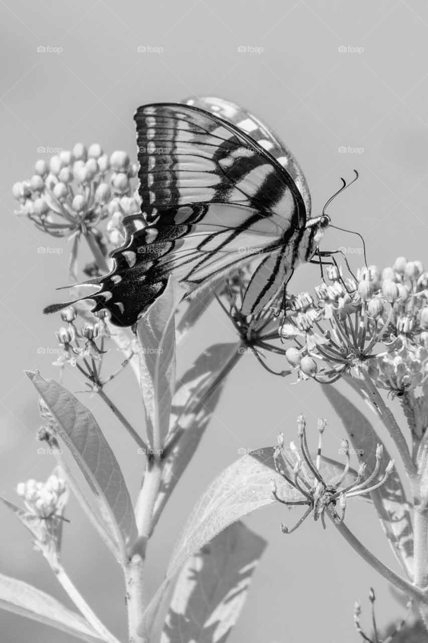 A black and white of an Eastern Tiger Swallowtail butterfly enjoying nectar from a swamp milkweed at Yates Mill County Park in Raleigh, North Carolina.