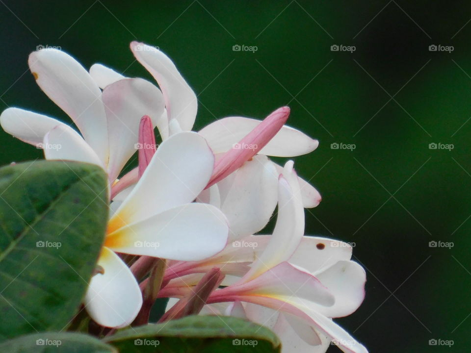 Bunch of plumeria flowers or chafa flower with blur background.