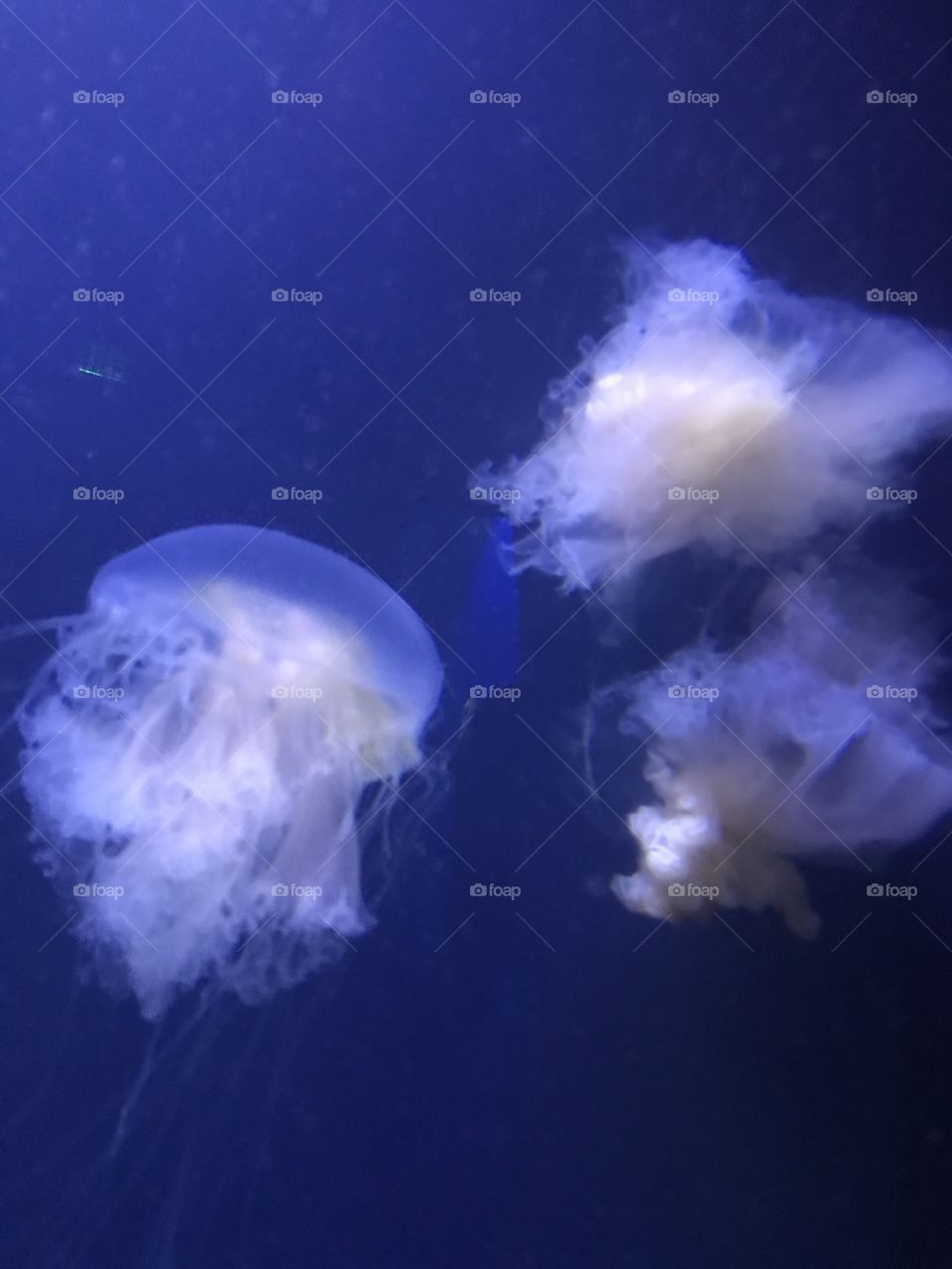 Egg yoke Jellyfish that resemble soft clouds or cotton. Simply beautiful!
