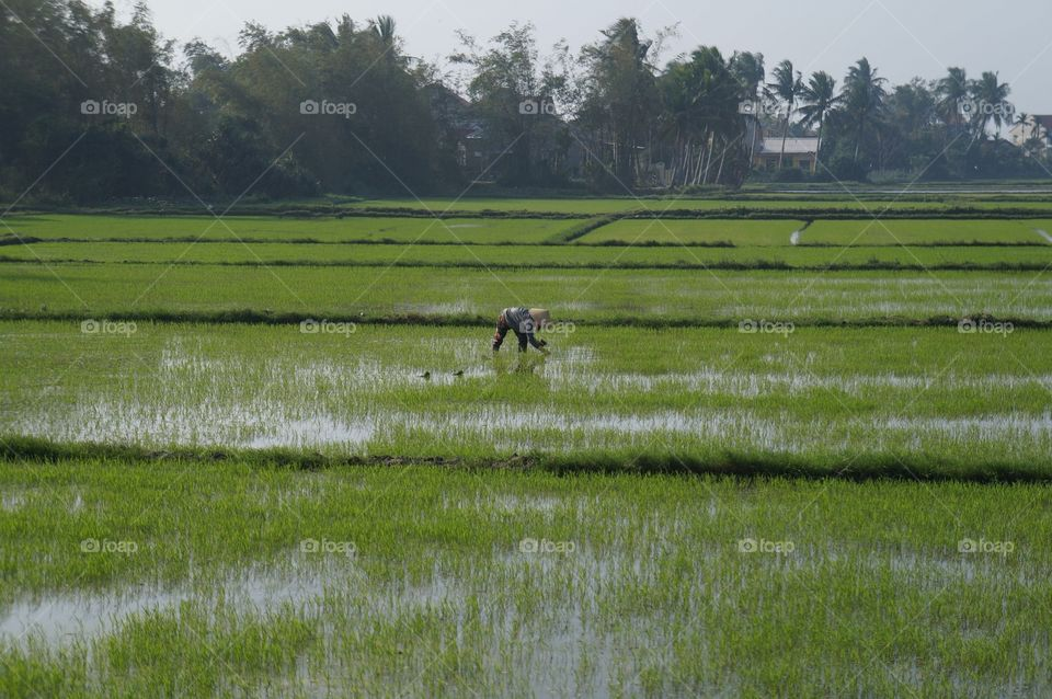 Agriculture, Farm, Landscape, Water, Rice