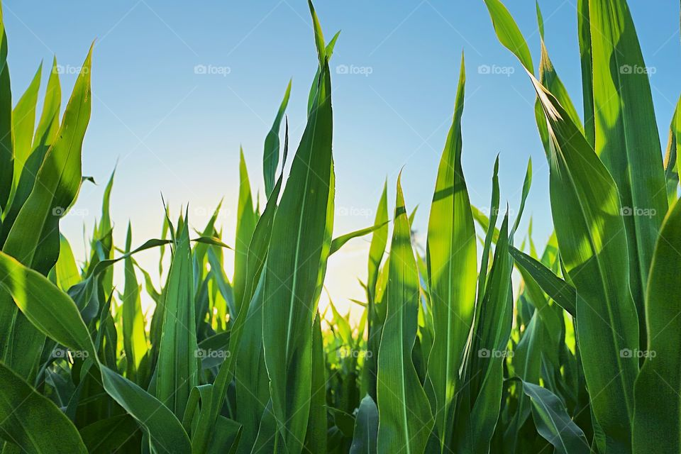 Low angle view of corn crops