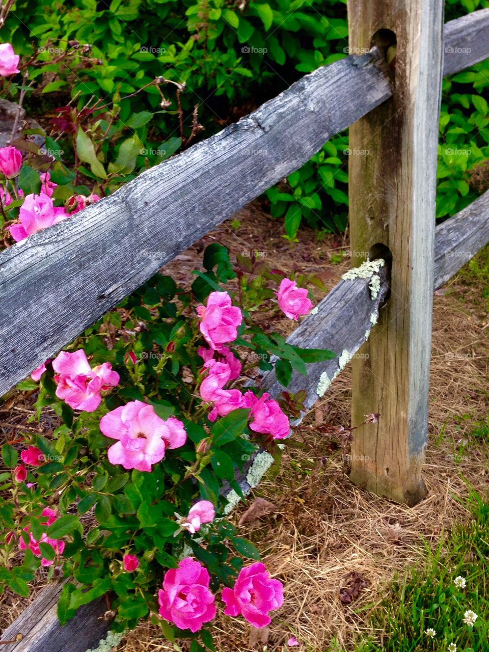 Rustic and Roses. Pink roses on a rustic fence