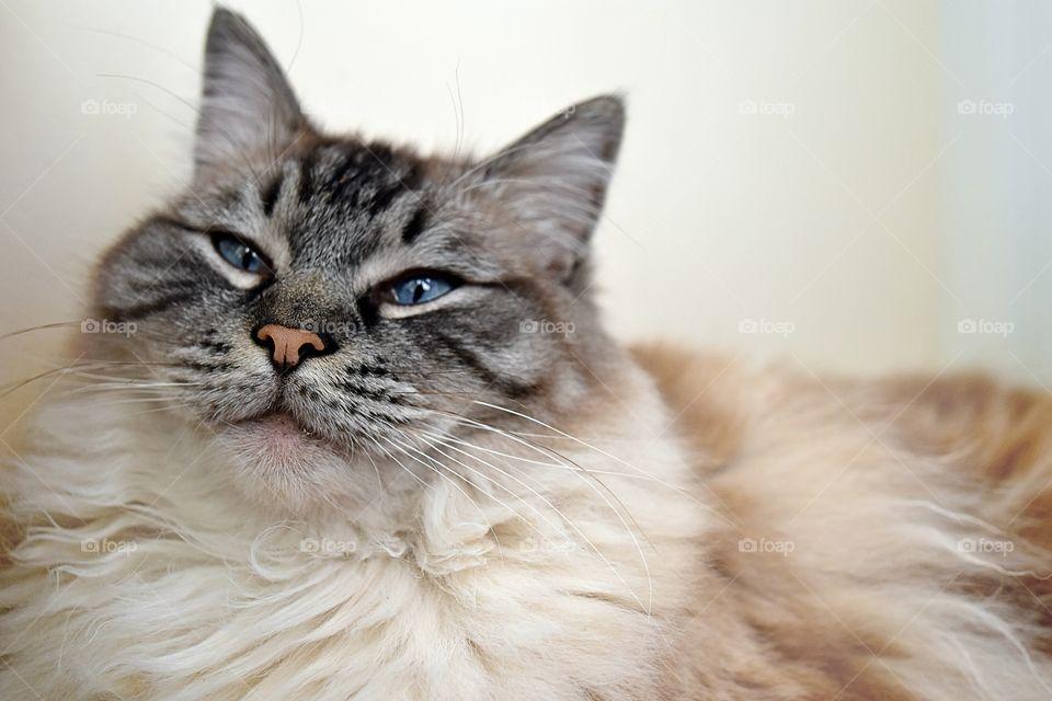 Close-up of a ragdoll cat