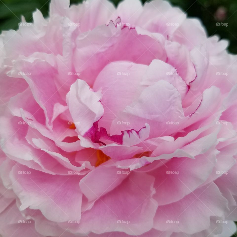 Extreme close-up of pink flower