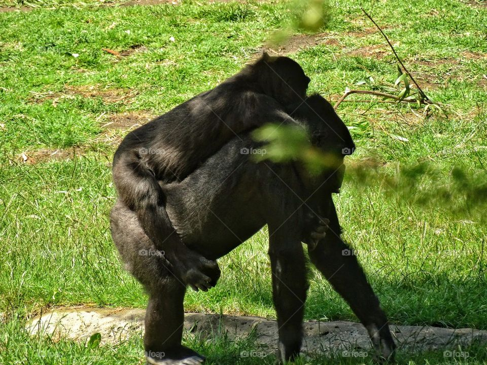 Baby gorilla riding on mother