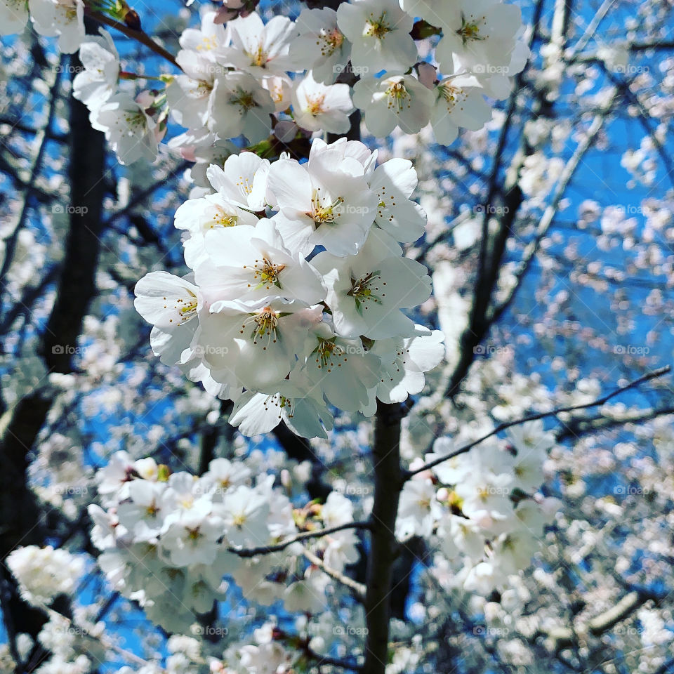 Cherry tree blossoms and branches in Ohio in spring
