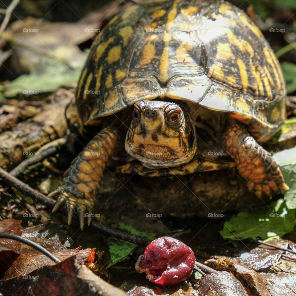 An eastern box turtle, North Carolina's state reptile, munches a muscadine grape in the forest at Yates Mill County Park in Raleigh.