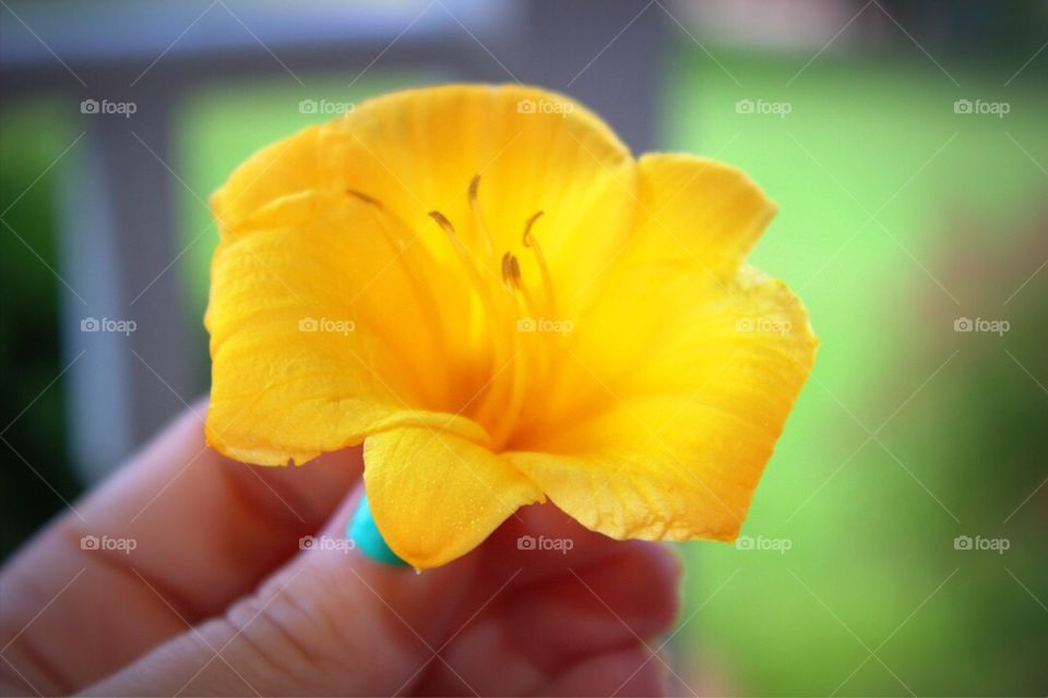 A woman's hand holding a gorgeous yellow lily.