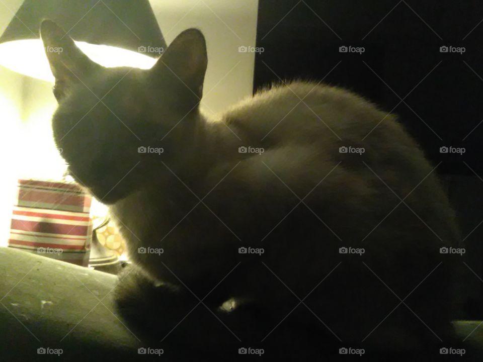 Siamese cat up close