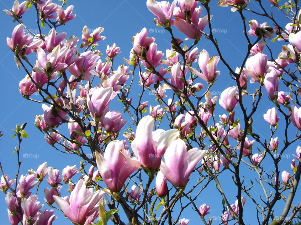 Magnolia flowers on the clear blue sky background