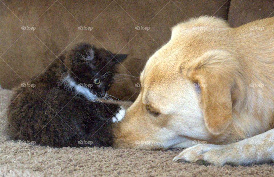 Maternal female dog with tiny kitten cat