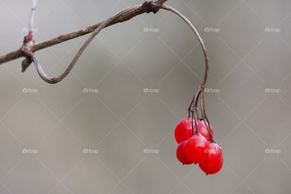 Red berries hanging from a branch