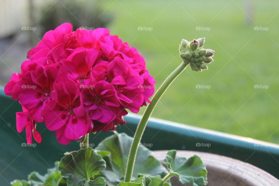 Close-up of geranium flower