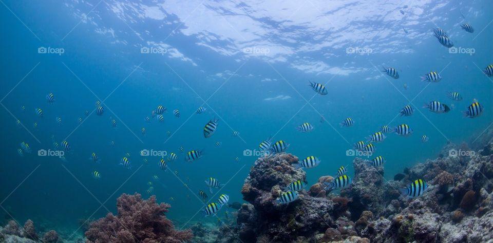 Sergeant fish swimming underwater