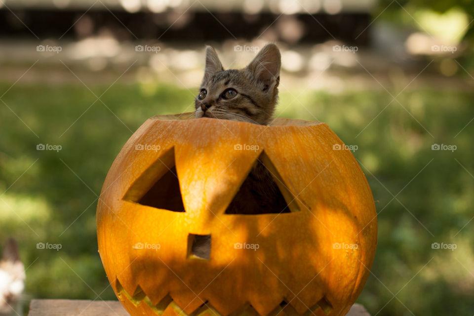 Halloween | pumpkin, no person, cat, fall