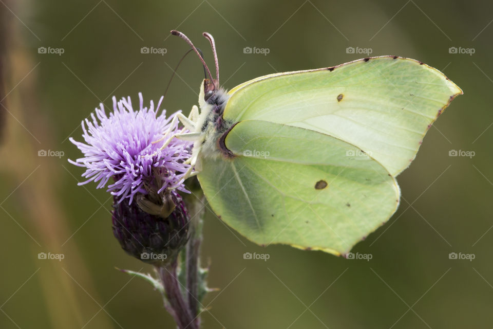 Yellow green brimstone butterfly on purple flower