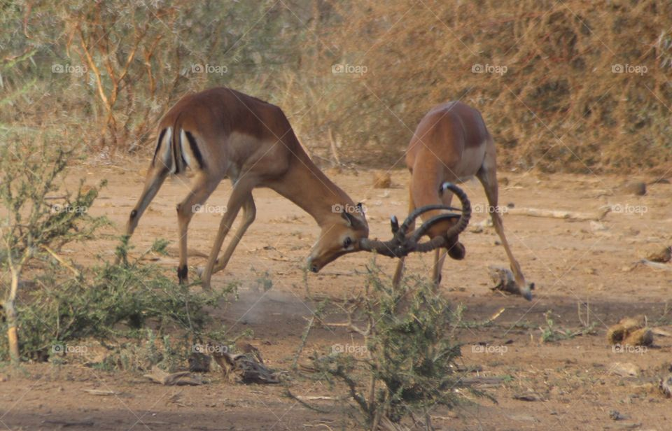Impalas butting heads