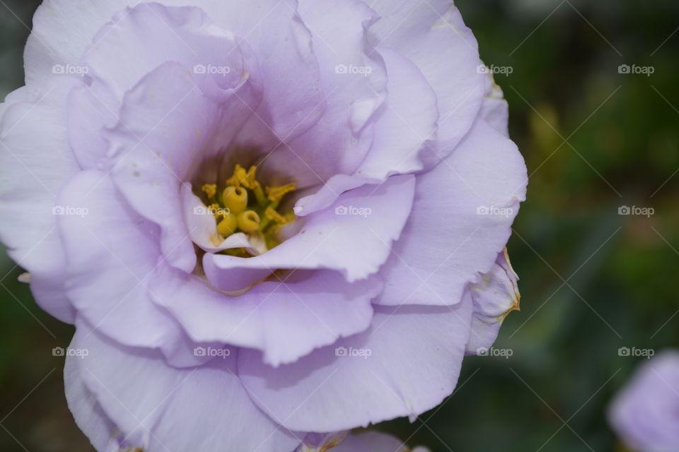 Light purple flower in a flower garden