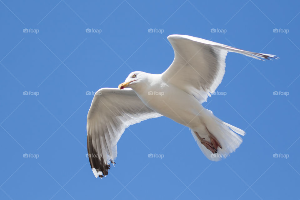 Close up on seagull bird in flight  - närbild på flygande mås gråtrut