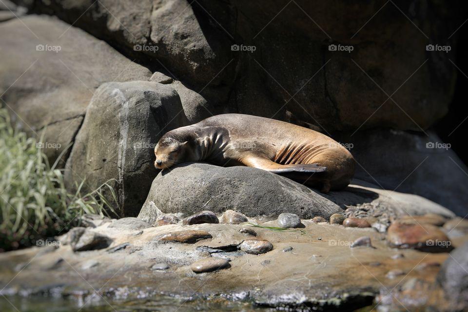 Sea lion in the New York Aquarium