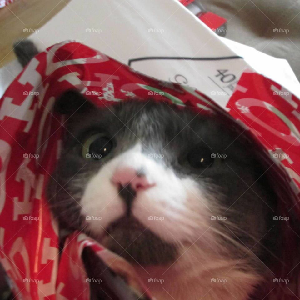 Gray and white kitty all wrapped up in Christmas wrapping pants