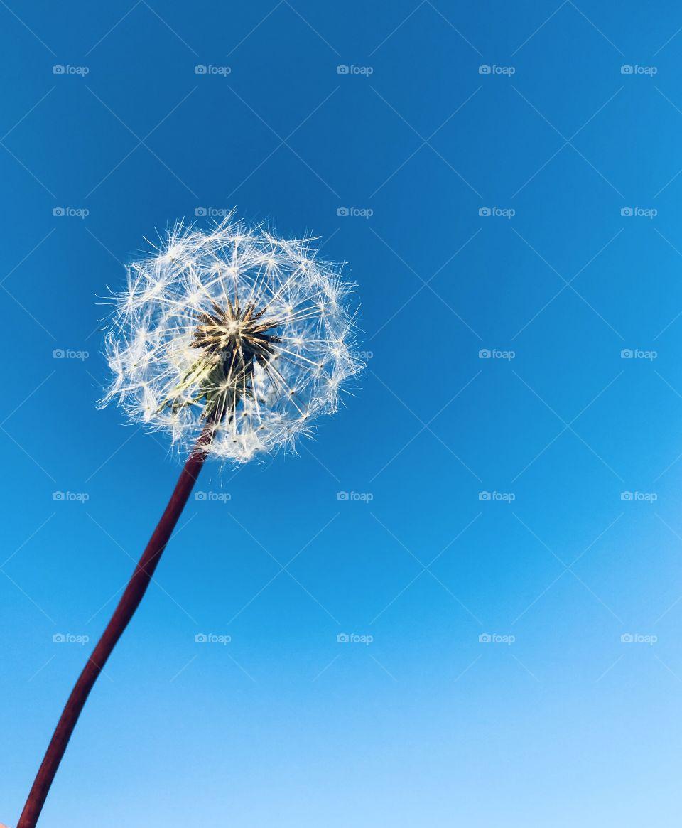 Beautiful white dandelion against a blue sky