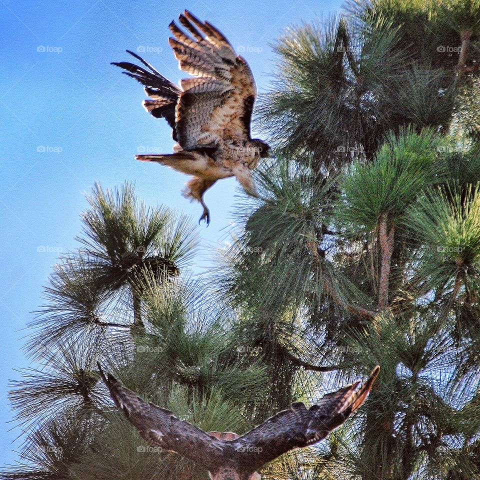Red Tailed Hawks landing and taking off