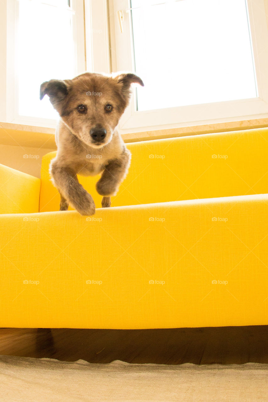 Dog jumping off yellow couch