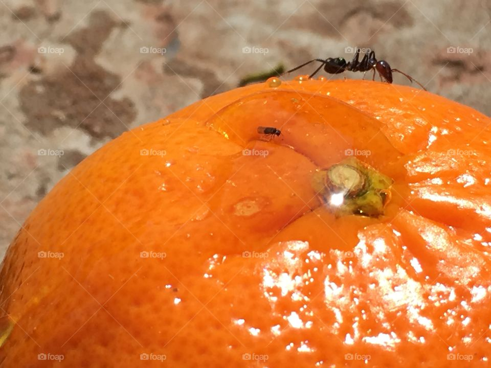 Worker ant climbing along the top of a whole orange a slippery slope!
