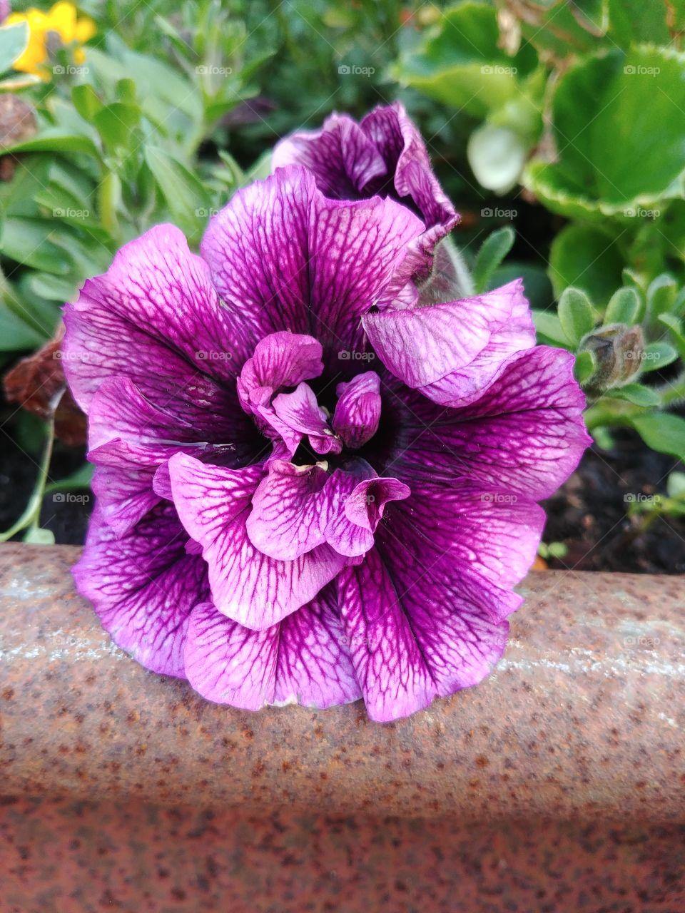 blühen Blüte blume lila purple flower
