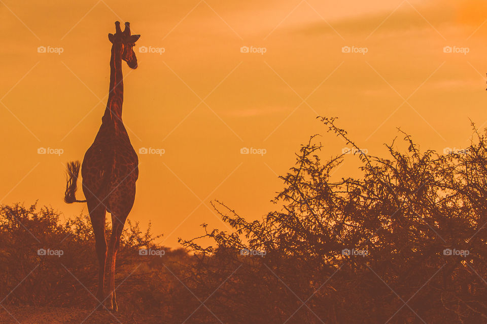 Giraffe occupying the road at Kruger National Park South Africa