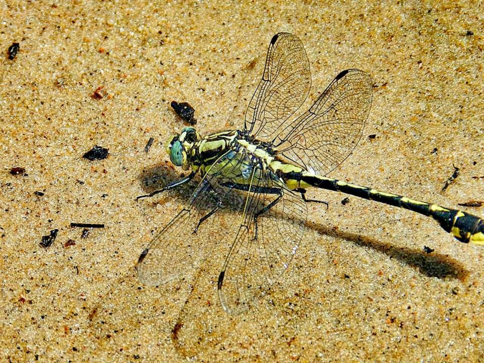 Costa Rican Dragonfly