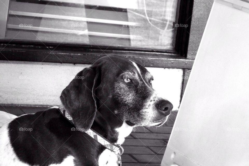Beautiful hound