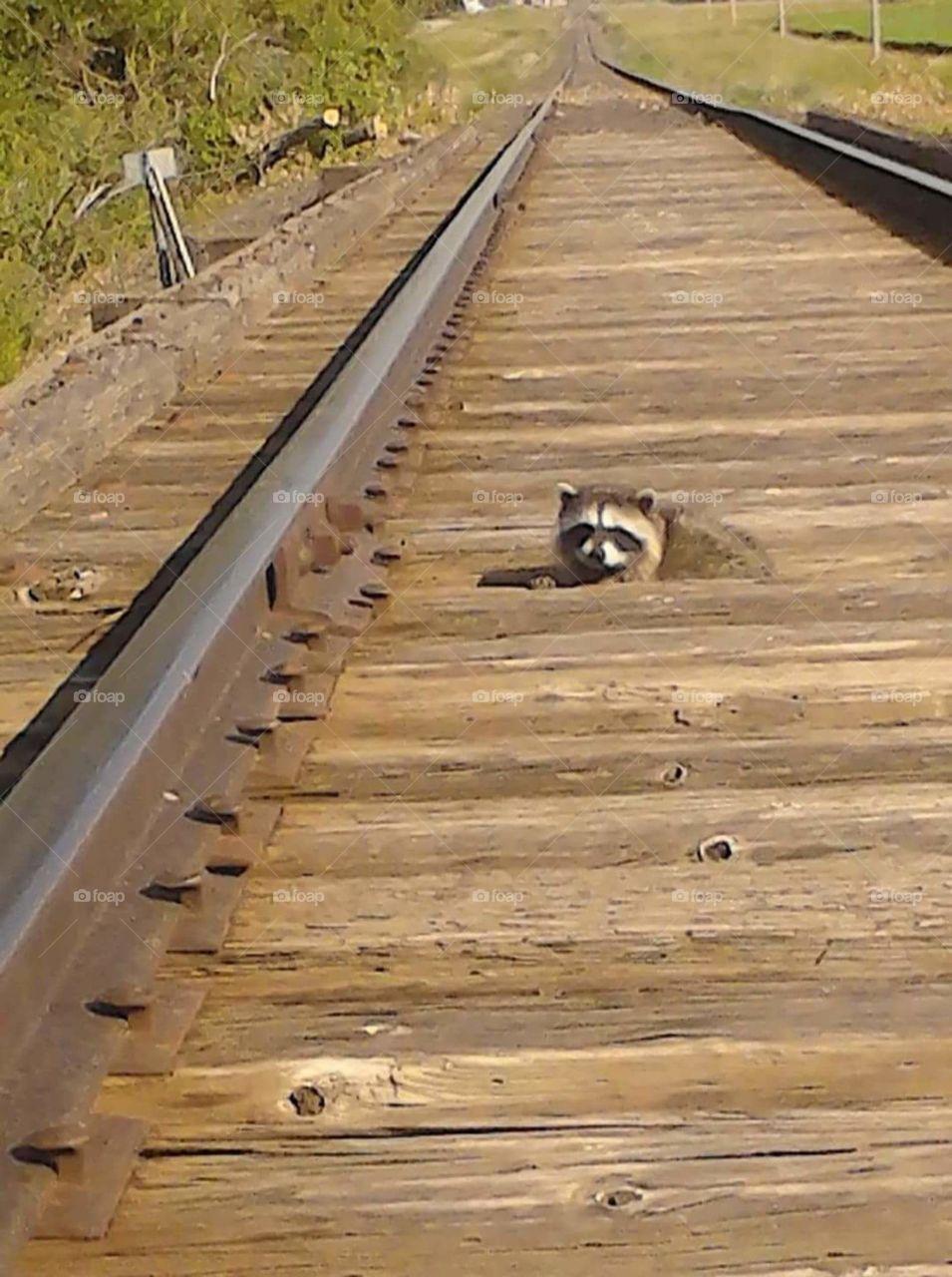 raccoon on old railroad bridge