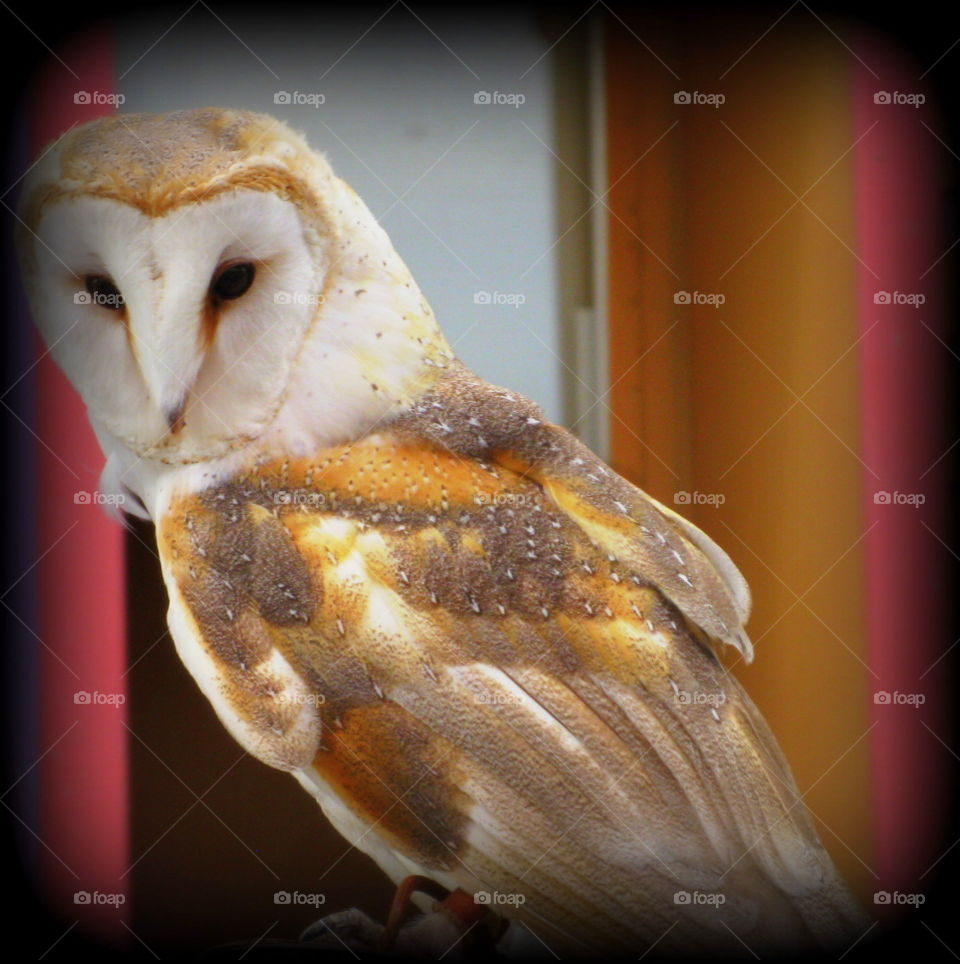 This is a barn owl at the Columbus Zoo in Ohio.