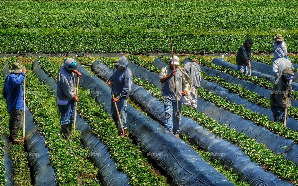 Undocumented farm workers in America