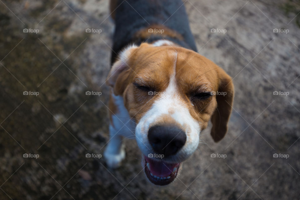 Cute beagle dog looking for something