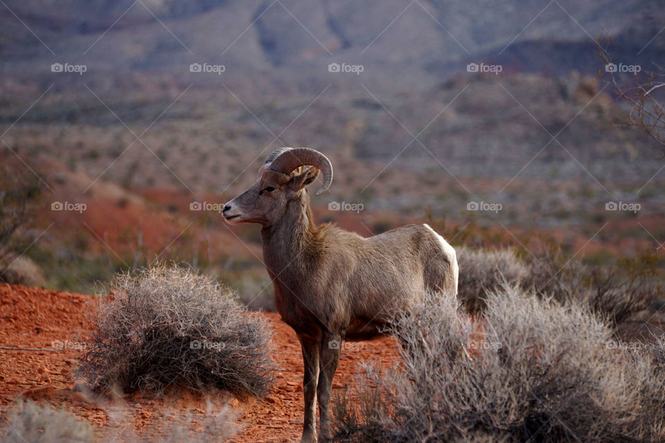 Big horn sheep standing on mountain