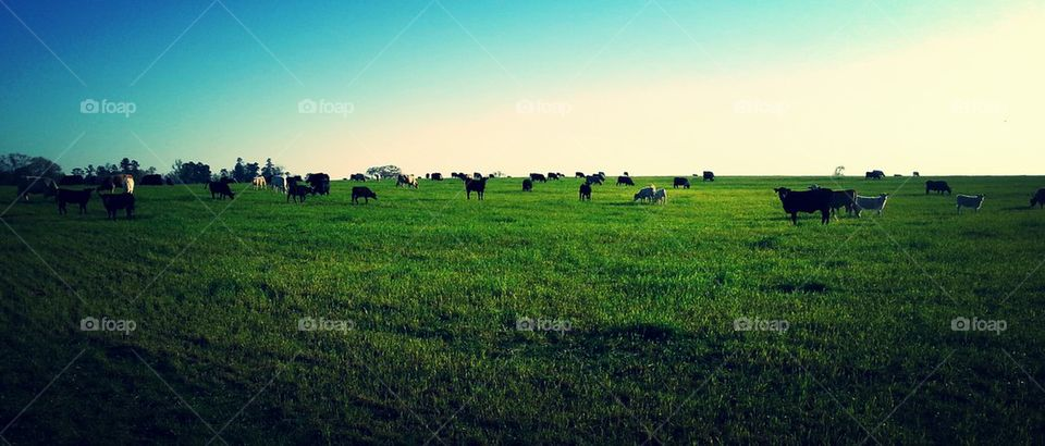 Pasture of Cows