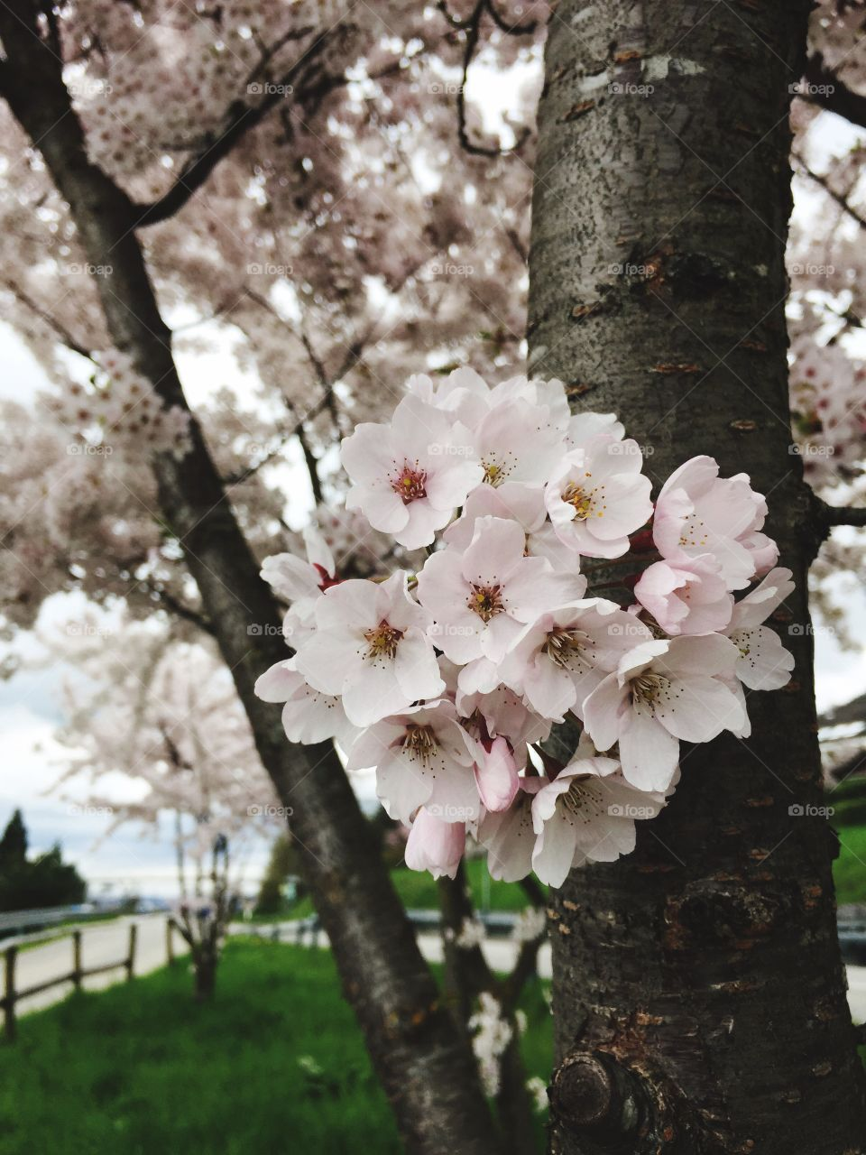 Beautiful cherry blossom in spring time