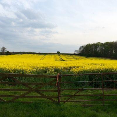 Yellow flower field against blue sky